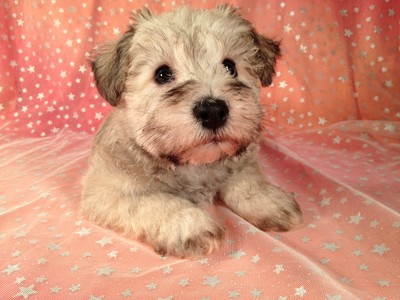 Male Schnoodle Born August 3, 2012 Ready Now! 3