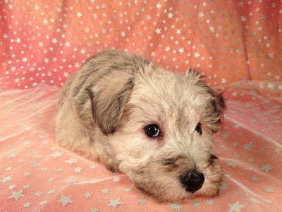 Male Schnoodle Born August 3, 2012 Ready Now! 4