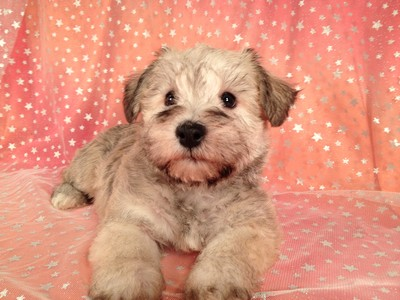 Male Schnoodle Born August 3, 2012 Ready Now! 5