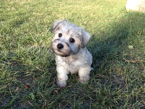 Female Schnoodle Puppies for Sale Ready October 2012