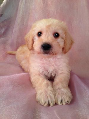 Schnoodle Puppies for Sale | Schnoodle Breeder in Iowa