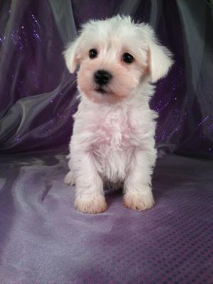 Female Schnoodle Puppy for Sale #15 Born September 13, 2013|Looking for a schnoodle Puppy for sale in San Francisco? Purebredpups ships schnoodles to California for $150.