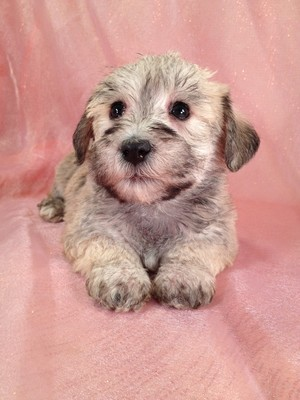 Female Schnoodle Puppy for sale #8|Shipping on Delta to Atlanta GA only $150|We sell our schnoodles for less than Most Schnoodle Breeders in Georgia