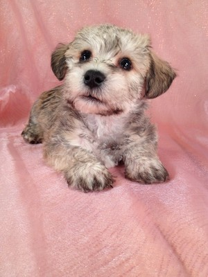 Attention Washington DC: Purebredpups sells schnoodle puppies for less than Most Schnoodle Breeders in Washington DC|Shipping to DC is only $150|schnoodle #9 Male