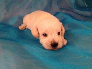 Male Schnoodle Puppy for sale #1 Born 1-25-13|Schnoodle Puppies for sale at lower Prices than Most Schnoodle Breeders in Pennsylvania