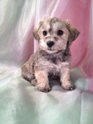 Schnoodle Breeders who can fly Puppies into California, Wisconsin, Illinois, Massachusetts, Maryland, Florida, North Carolina, Pennsylvania, Washington, and More for only $150