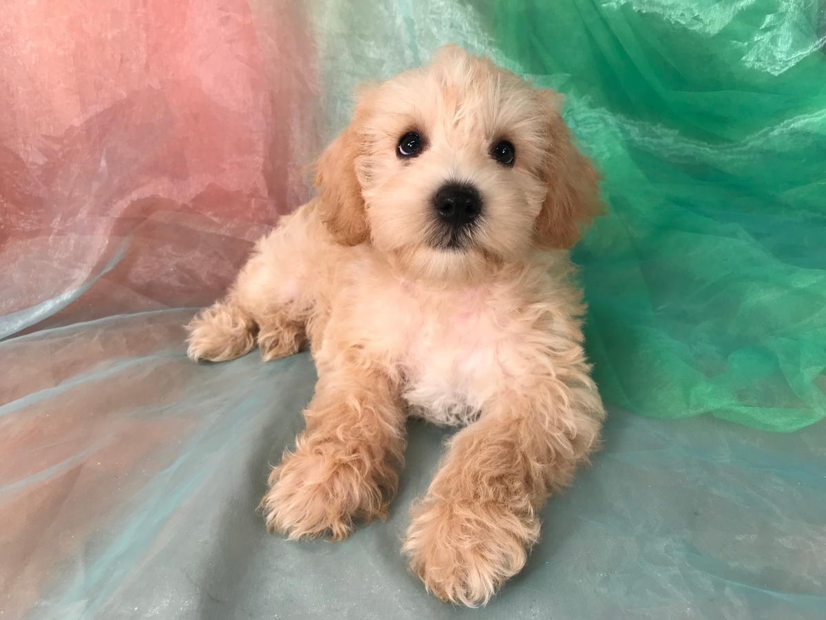 Apricot and White Male Schnoodle Puppy for Sale $975