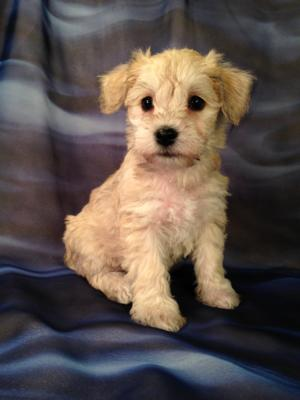 Have You Been Hunting All Over Illinois, Wisconsin, Iowa and Minnesota for a Schnoodle Puppy?  Welcome to Purebredpups, Iowa's Best Schnoodle Breeder!