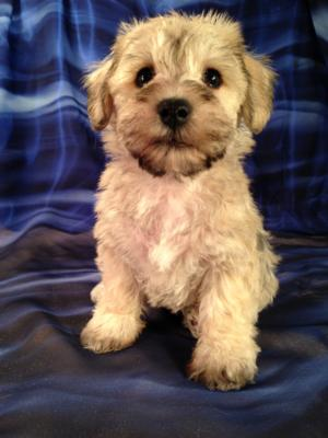 Male schnoodle Puppy #4 DOB 9-20-14 Purebredpups is just a short journey from Illinois, Minnesota and Wisconsin.