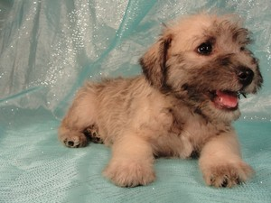 Male schnoodle puppy for sale|Iowa breeder 2012|Ready by August