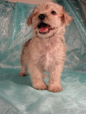 Male Schnoodle Puppies|Born May 28, 2012|Ready Now|Iowa sale