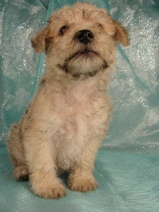 Male Schnoodle Puppies|Born May 28, 2012|Ready Now|Iowa sale 4