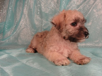 Male schnoodle|Puppies for sale|Shipping $150 2