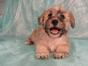Male schnoodle|Puppies for sale|Shipping $150