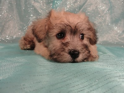 Female Schnoodle puppies for sale in Iowa August 2012 2