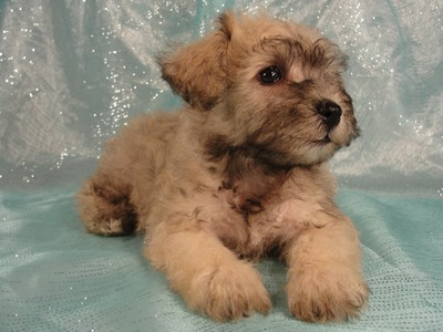 Female Schnoodle puppies for sale in Iowa August 2012 3