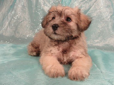 Female Schnoodle puppies for sale in Iowa August 2012 4