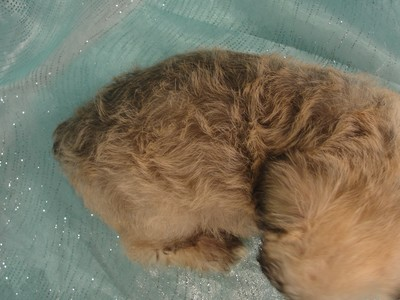 Female Schnoodle puppies for sale in Iowa August 2012 6