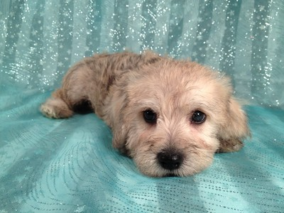 Male Schnoodle for sale Ready Now September 2012 2