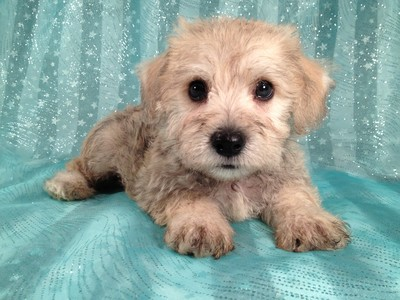 Male Schnoodle for sale Ready Now September 2012 3