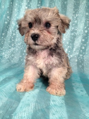Male Schnoodle Puppy for sale September 2012