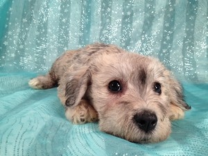 Female Schnoodle puppy for sale Iowa Minnesota Border Sept. 2012