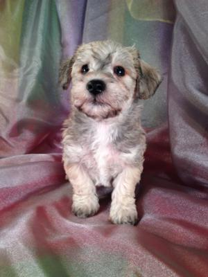 Male Miniature Schnoodle Puppy for sale #10 Born 9-13-13 Purebredpups has most colors of schnoodle puppies for sale in stock!