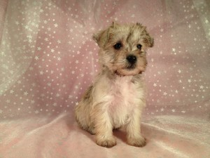 Female Schnoodle Puppies for sale #11 Ready October 2012