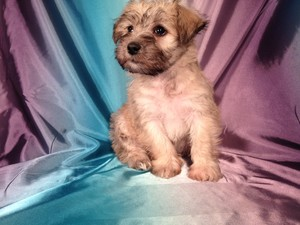 Male Schnoodle Puppy for sale #13 Ready October 2012 $750