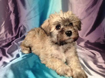 Male Miniature Schnoodle Puppy for sale #14 Ready October, 2012 4