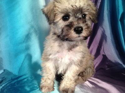 Male Miniature Schnoodle Puppy for sale #14 Ready October, 2012 3