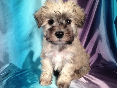 Male Miniature Schnoodle Puppy for sale #14 Ready October, 2012 2