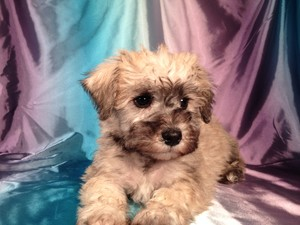 Male Miniature Schnoodle Puppy for sale #14 Ready October, 2012