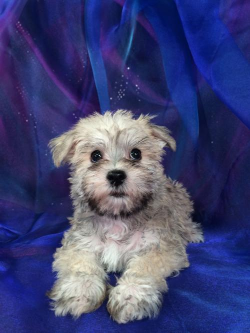 Breeders of Schnoodles,Iowa,Minnesota,Wisconsin,Illinois,schnoodle puppies
