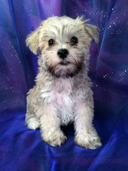 Miniature schnoodle,IA,MN,IL,WI,sale,for,in,near,Breeders
