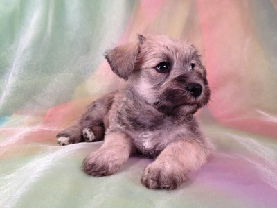 Male Schnoodle Puppy for sale #16 Ready November 2012 2
