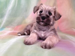 Male Schnoodle Puppy for sale #16 Ready November 2012