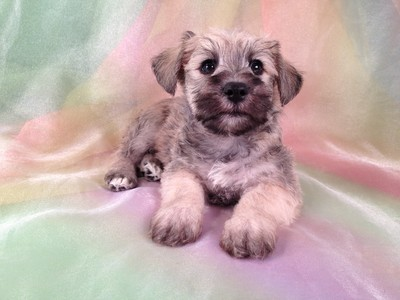 Male Schnoodle Puppy for sale #16 Ready November 2012 3