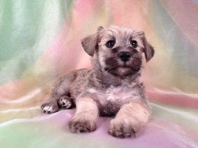 Male Schnoodle Puppy for sale #16 Ready November 2012 4