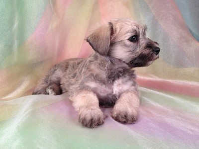 Male Schnoodle Puppy for sale #16 Ready November 2012 5