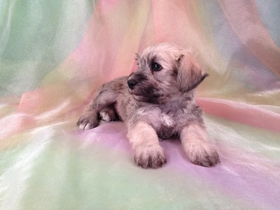 Male Schnoodle Puppy for sale #16 Ready November 2012 6
