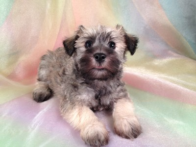 Male Miniature Schnoodle Puppy for sale #17 Ready November 2012 4