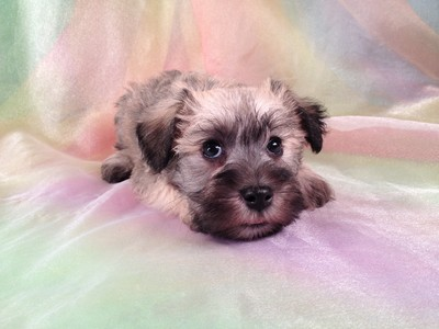 Male Miniature Schnoodle Puppy for sale #17 Ready November 2012 5