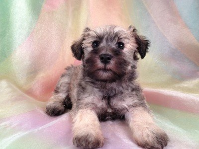 Male Miniature Schnoodle Puppy for sale #17 Ready November 2012 2