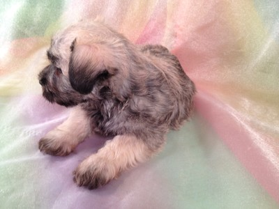 Male Miniature Schnoodle Puppy for sale #17 Ready November 2012 6