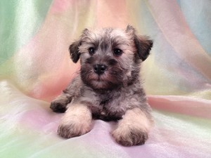 Male Miniature Schnoodle Puppy for sale #17 Ready November 2012