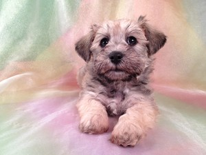 Female Schnoodle Puppy for sale #18 Ready November 2012