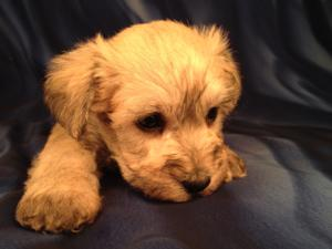 Male Schnoodle Puppy for sale #7 DOB 9-1-13 Dog Breeders who Breed Schnoodle Puppies|Ship for $150 into Most Major airports! Fort Lauderdale,Boston,Newark,Providence,ect..