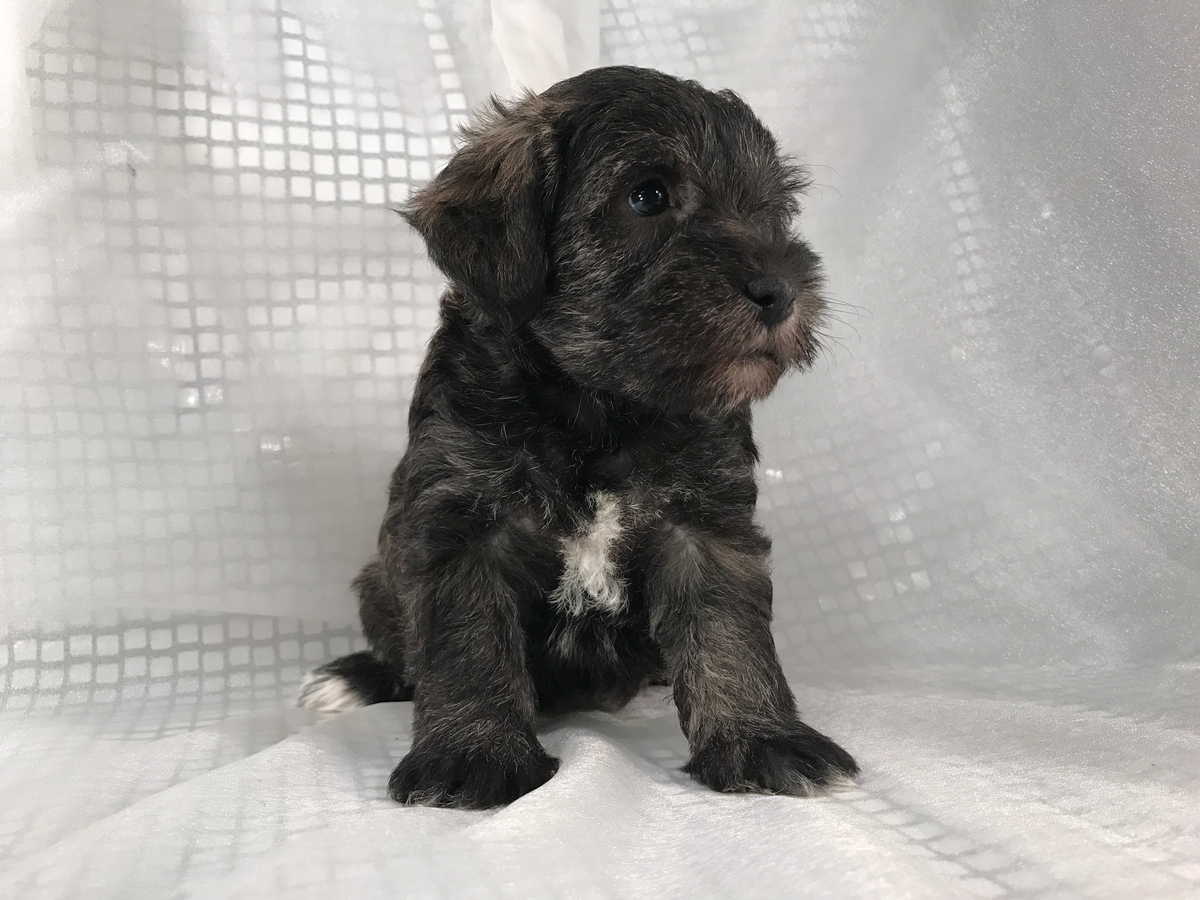 Black female schnoodle Puppies for sale in Iowa