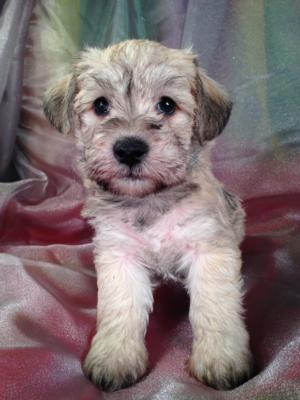 Male Schnoodle Puppy for sale #9 DOB 9-13-13|Schnoodles for sale can be flown into PA, RI, NJ, MA, MD, DC, and many other large airports for only $150